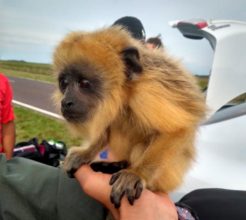 Rescatan en Corrientes una cría de mono que era transportada en un vehículo que iba de Posadas a Bella Vista