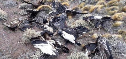 Peligro de extinción: Otros 23 cóndores aparecieron muertos por envenenamiento en la Patagonia