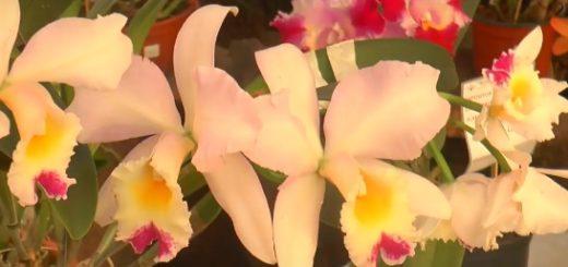 Hasta el lunes se realiza en Montecarlo la 28 Fiesta Nacional de la Orquídea y 34 edición provincial de la Flor