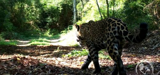 Promueven el compromiso con la biodiversidad a través de la participación de la comunidad en la selección del nombre de una hembra yaguareté