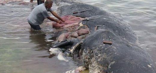 Indonesia: Hallan en el estómago de una ballena muerta más de seis kilos de basura