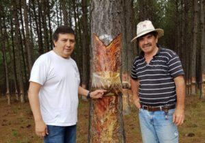 Resina de pino, un valor agregado que crece en la cadena de la foresto-industria correntina