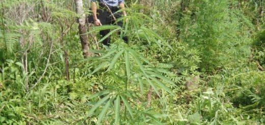 Descubrieron una plantación de marihuana en pleno monte de Dos de Mayo