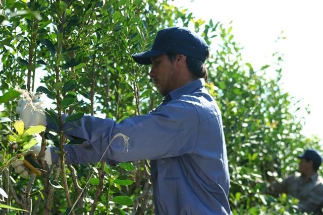 Yerba mate: en diciembre se habilita la cosecha y secanza, y no es necesario notificar previamente al INYM