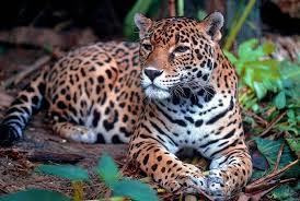 En el Día del Yaguareté, el ministro de Ecología rescató el compromiso del Gobierno Provincial por mantener a este felino protegido en la vida silvestre