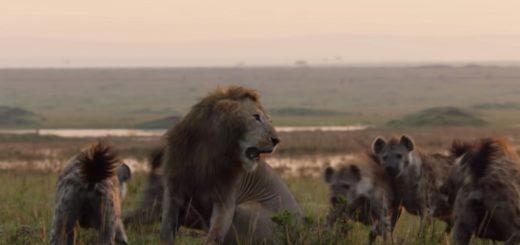 Vídeo Viral: Un león fue atacado por 20 hienas hambrientas pero fue salvado por un héroe inesperado