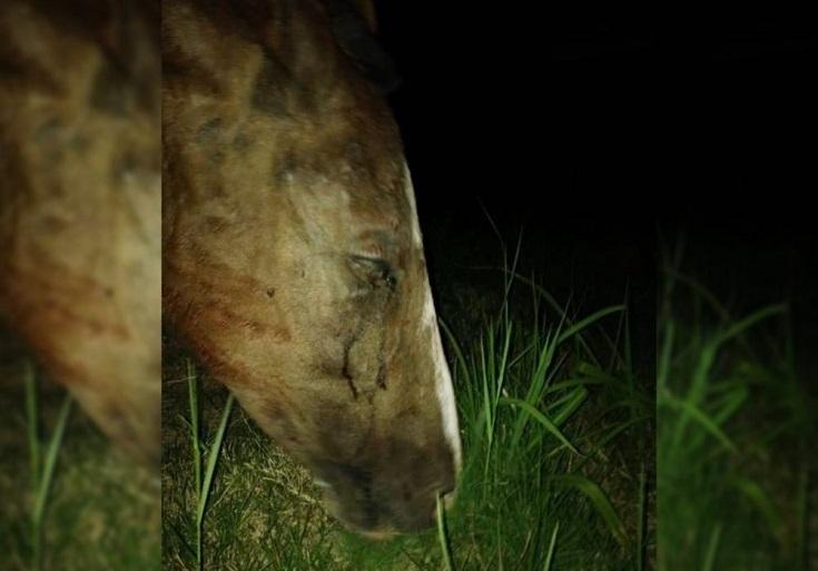 Corrientes: un hombre fue detenido por apuñalar tres veces a su caballo