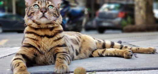 Coco, el gato que se cree perro y que pasea con correa por las calles de Buenos Aires