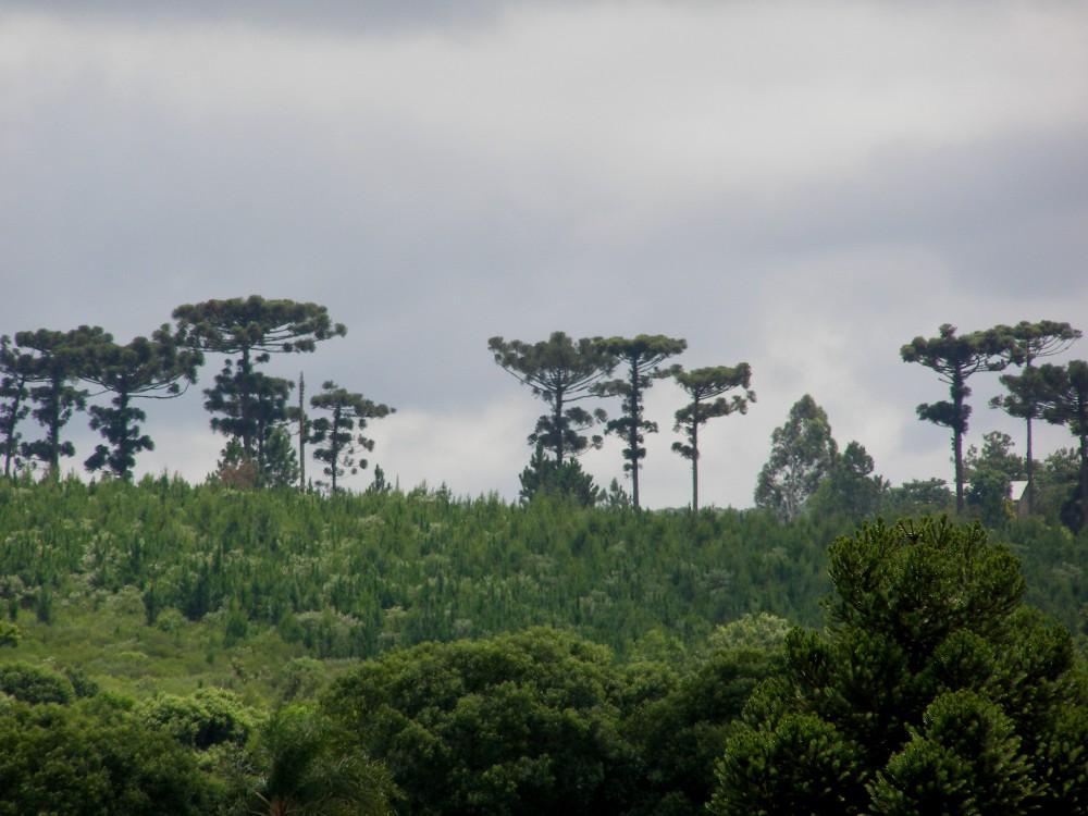 Conservación: el INTA mantiene el trabajo de investigación para el rescate de la Araucaria