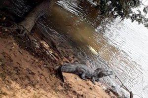 Corrientes: avistaron un yacaré en la costanera Norte