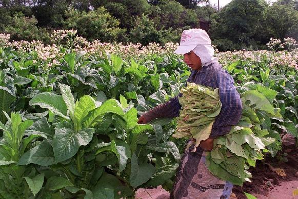 Se promulgó la Ley del Monotributo que beneficia a pequeños productores yerbateros, cañeros, tabacaleros y tealeros