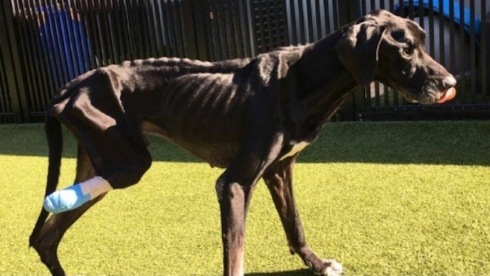 Un perro terminó comiéndose su propia pata porque sus dueños no lo alimentaban