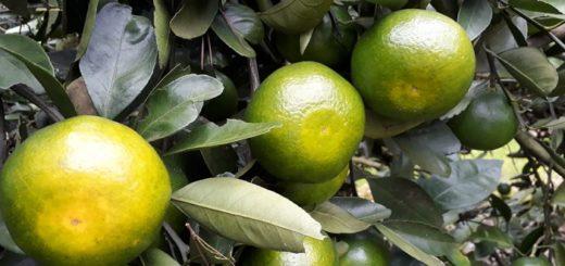 Todo listo para degustar las primeras mandarinas misioneras de la temporada
