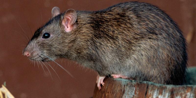 Hantavirus: la municipalidad de Posadas reparte cebos de manera gratuita para combatir a roedores