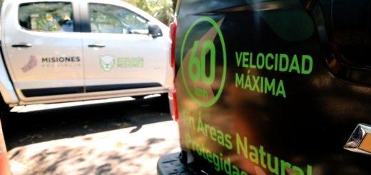 Atropellamiento de ocelotes en Misiones: Ecología abrió un sumario y citará a los posibles infractores