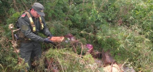 Dieron con más de una tonelada de marihuana oculta en el monte, entre Wanda y Libertad