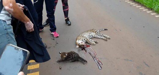 """Misiones creó un registro público de """"Conductores Infractores"""" ante el grave daño por atropellamiento vehicular a la fauna nativa"""