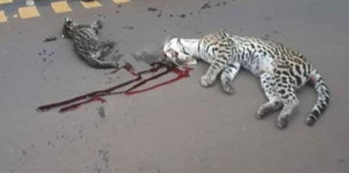 Atropellaron a dos ocelotes en el acceso al Parque Iguazú, la madre murió en el acto y la cría resultó herida