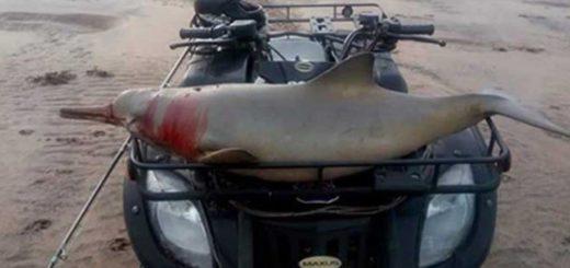 Indignación por un caso de maltrato animal: cazan a un delfín y lo pasean por la playa