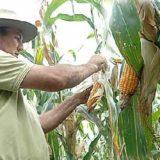"""La red agroecológica que rechaza semillas transgénicas pidió al Gobierno que """"no se ejecute"""" el proyecto de Nación y Maizar en Misiones"""