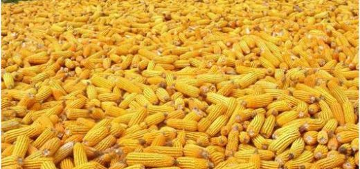 Los responsables de Agricultura Familiar de Provincia y Nación plantearon sus diferencias respecto al maíz transgénico y su producción en Misiones