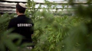 Israel exportará cannabis medicinal y prevé recaudar 260 millones de dólares