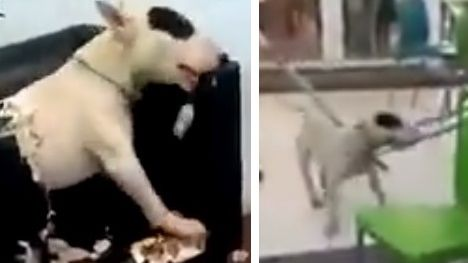 Video viral: un perro entró a una heladería de Mendoza y destrozó los muebles