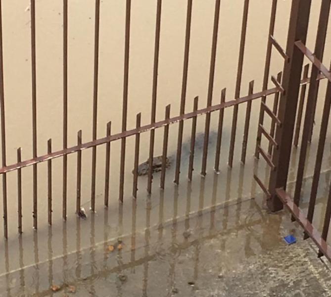 Video: a causa de las inundaciones, un yacaré nadando en plena calle de Florianópolis