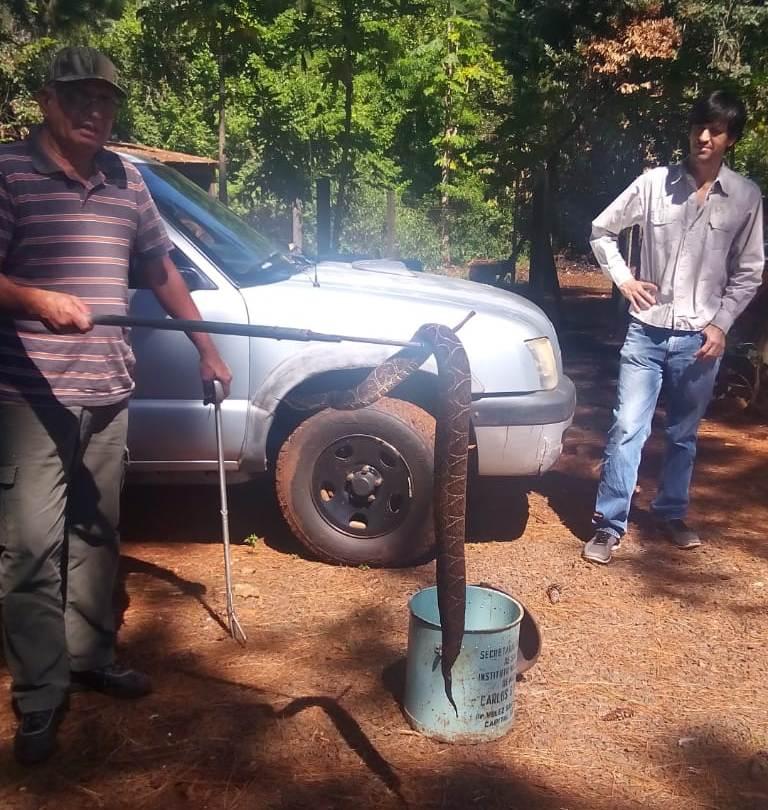 Rescataron una enorme yarará en el barrio San Isidro de Posadas