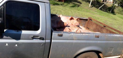 Sacrificaron 27 porcinos trasladados sin documentación sanitaria en Misiones