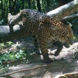 Un tapir fue filmado atravesando uno de los senderos verdes  del área de Cataratas, en el Parque Nacional Iguazú