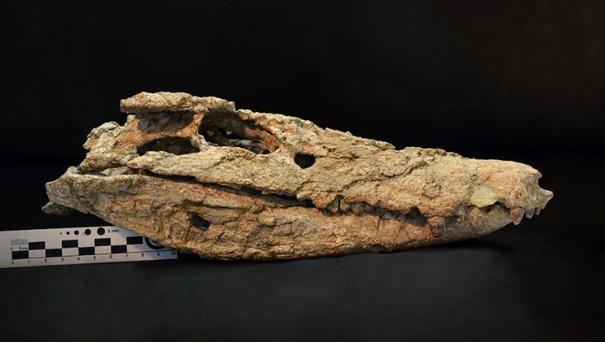 Hallaron un esqueleto de un cocodrilo que habitó en Neuquén hace 70 millones de años