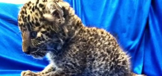 Tráfico de animales: llevaba un cachorro de leopardo escondido en su equipaje