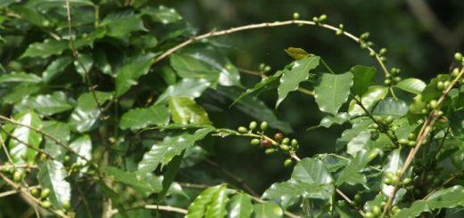 Efectos del clima amenazan las especies de café y algunas variedades ingresaron a la lista de peligro de extinción