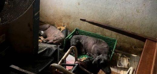 Corrientes: encontraron 32 perros y 6 gatos en total estado de abandono en una casa