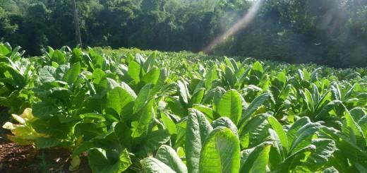 APTM pedirá un aumento superior a 50% en la concertación de precios del tabaco que inicia hoy