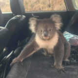 Cómo evoluciona el koala rescatado de los incendios en Australia