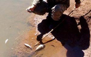 Tras la denuncia de pobladores, Ecología constató la muerte de al menos 200 peces juveniles de boga en el Arroyo Urugua-í e investigan las causas del daño ambiental