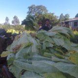 Productores recibirán $13,35 por kilo, como pago del retorno del tabaco Burley