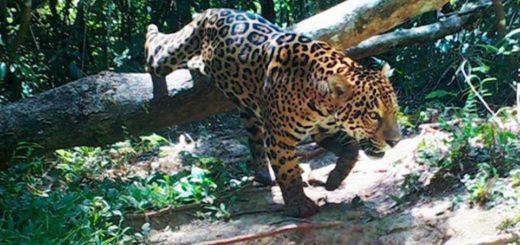 Yaguaretés: ante la falta de avances en medidas de protección de la especie y su hábitat con el Plan Jaguar 2030, la WWF pidió a gobiernos latinoamericanos la restauración de corredores biológicos