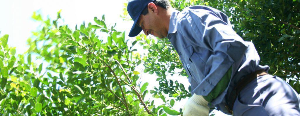 Impulsado por el INYM, por primera vez se implementarán Buenas Prácticas Agrícolas en yerbales