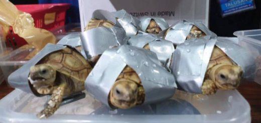 Tráfico de animales: intentó contrabandear más de 1500 tortugas vivas en 4 valijas