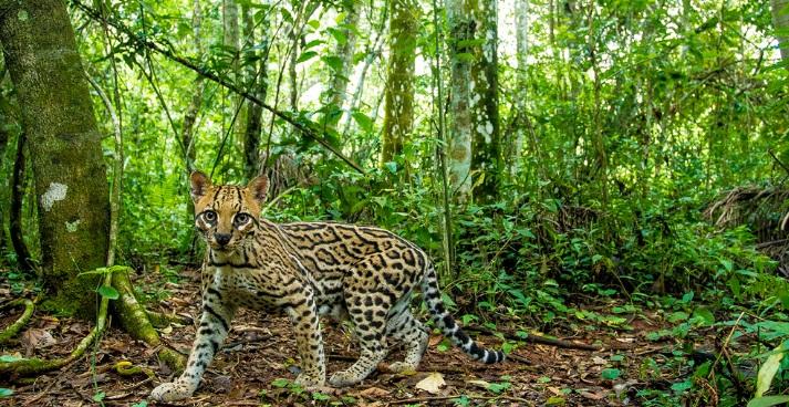 Científicos del CONICET comprobaron que los cambios en los bosques nativos afectan a los gatos silvestres