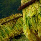 APTM incorpora nuevos tabacaleros al programa Foresto Ganadero