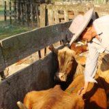 Cerca de 500 cabezas de ganado se rematarán en San Vicente