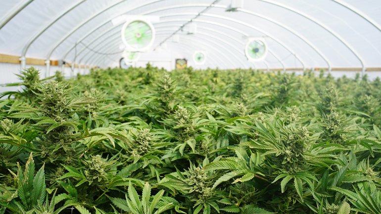 Sentía un extraño olor y descubrió que su vecino tenía una granja gigante con marihuana