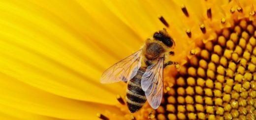 Fue al médico porque se le hinchó un ojo y descubrió que tenía cuatro abejas vivas adentro
