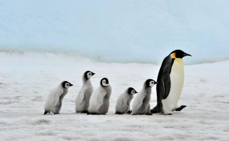 Murieron miles de crías del pingüino emperador en la Antártida porque se derritió su hábitat