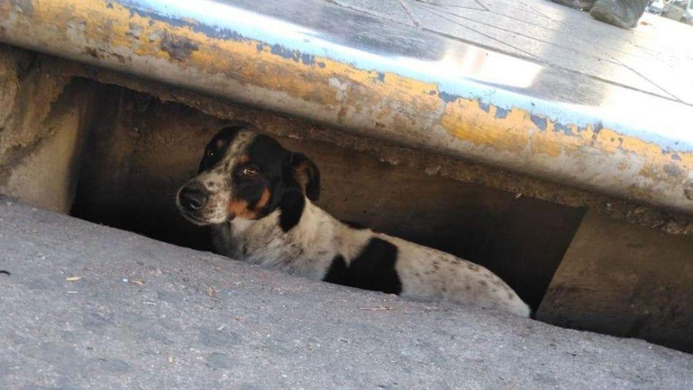 Rescatan a un perro que cayó en una alcantarilla y estuvo atrapado tres días