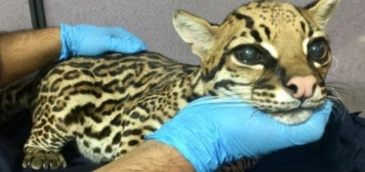 Maltrato animal: le amputaron los colmillos a un leopardo bebé para domesticarlo como si fuera un gato
